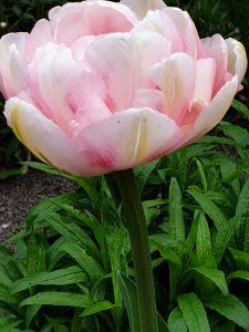 Home-Tulpe