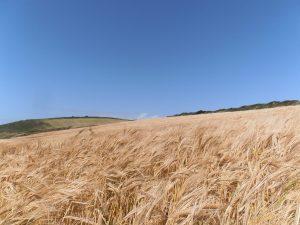 Predigt zu Lukas 12 Korn Kornfeld Getreideb