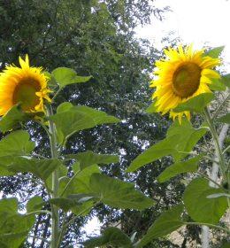 Sonnenblume Aufblühen Sommer